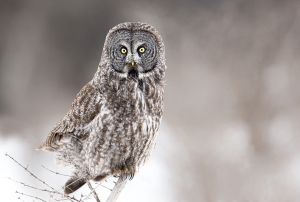 PhotoVivo Honor Mention - Tin Sang Chan (Canada)<br />Great Gray Owl