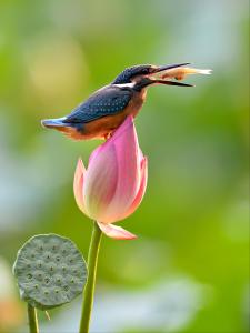 PIPA Merit Award - Yongxiong Ling (Australia)Little Kingfishers