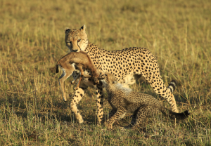 PSA Gold Medal - Bob Devine (United Kingdom)<br />Cheetah Cub Helps