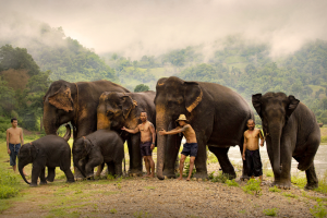 RPS Gold Medal - Thechatat Thammanitkij (Thailand)Mahout
