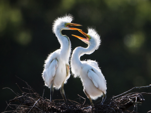 PIPA Merit Award - Tracy Shuxi Feng (USA)<br />Two Baby Egrets Talking