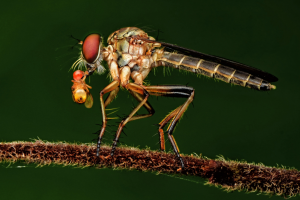 PhotoVivo Merit Award - Foo Say Boon (Malaysia)<br />Robber Fly With Meal!