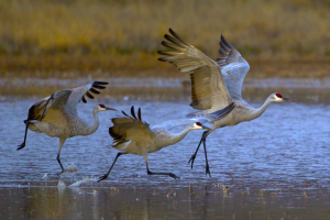 RPS Ribbons - Jennifer Chi Hung Wen (USA)<br />Sand Hill Cranes Taking Off