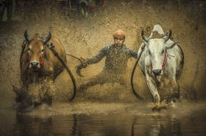 PIPA Merit Award - Suyue Wang (China) <br /> Cattle Race