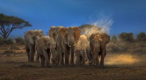 PIPA Merit Award - Weidong Zhong (China) <br /> Elephant Family