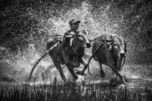 APU Gold Medal - Guixiang Huang (China) <br /> Bull Running