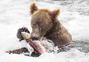 PIPA Merit Award e-certificate - Phillip Kwan (Canada)  Bear Eating Fish 95