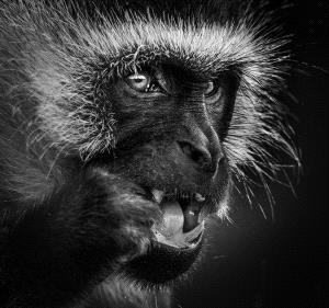 PIPA Merit Award e-certificate - Weidong Zhong (China)  Colobus Monkey
