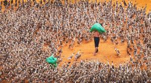 APAS Gold Medal - Xiqing Liu (China)  Feed The Duck