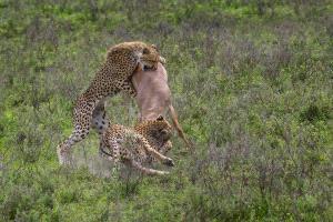 PIPA Merit Award e-certificate - Sathyanarayana C.R. (India)  Attacking Cheetahs