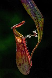 PhotoVivo Gold Medal - Waranun Chutchawantipakorn (Thailand) <br /> Orchid Mantis